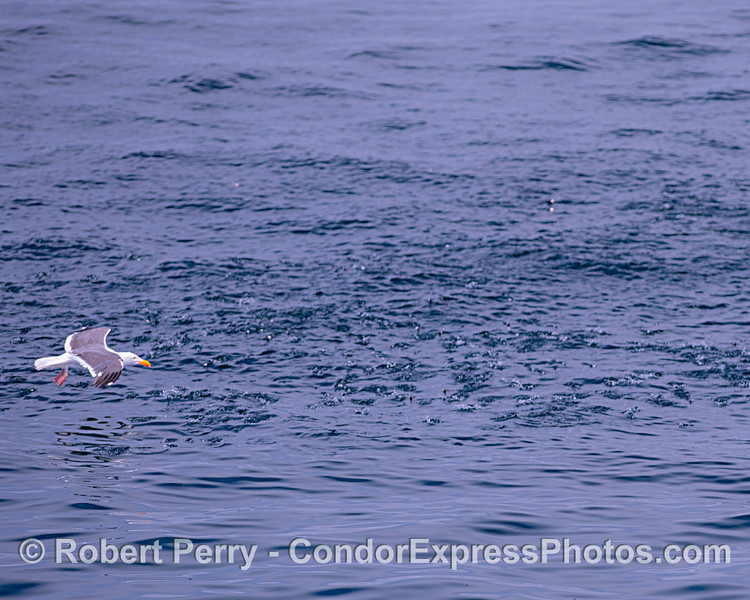 A bait ball of northern anchovies is seen on the surface as a hungry western gull looks for an easy dinner.