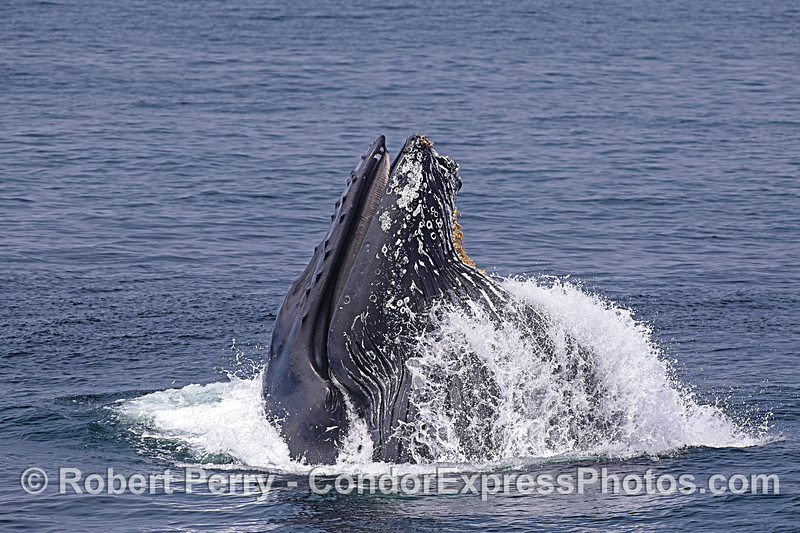 Image 5 in a sequence: a humpback whale surface lunge feeding.