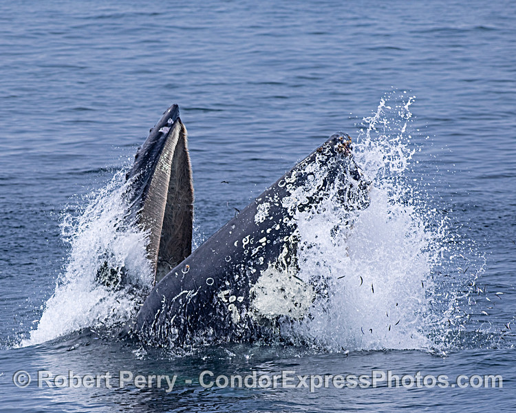 Image 1 in a sequence: a humpback whale surface lunge feeding.