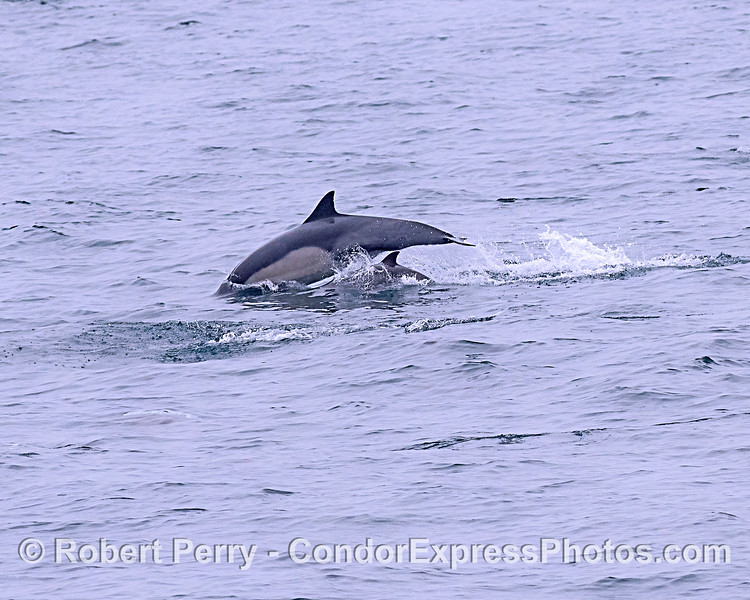 Long-beaked common dolphins - mother and calf.