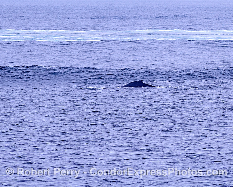 A humpback whale approaches the wake wave of a container cargo ship.