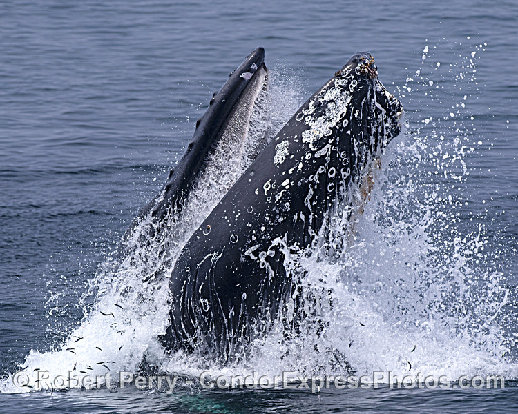Image 2 in a sequence: a humpback whale surface lunge feeding.