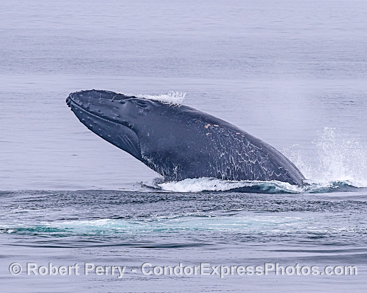 Image 2 - Breaching adult humpback whale sequence.