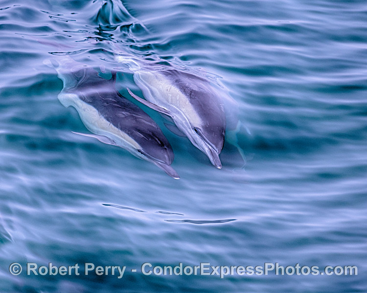 A trio of long-beaked common dolphins share a wave.