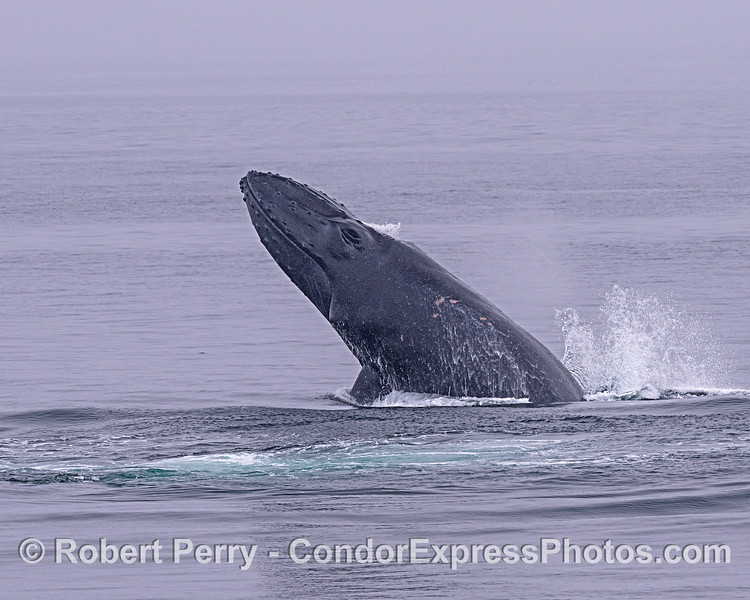 Image 1 - Breaching adult humpback whale sequence.