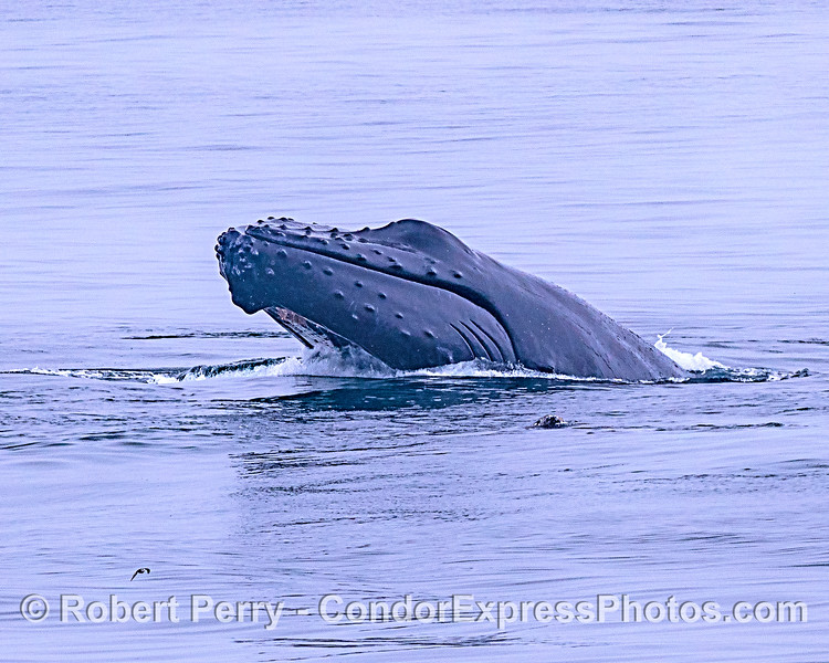Image 3 - Breaching adult humpback whale sequence.