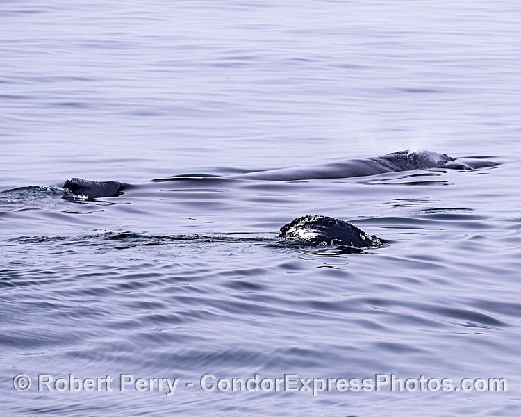 Two humpback whales, one is on its side and showing its tail fluke.