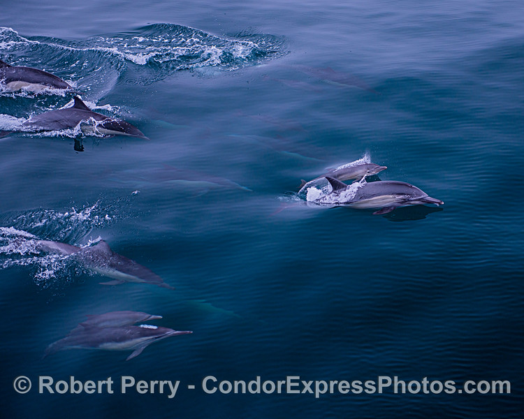 A  mother long-beaked common dolphin and her calf are seen traveling in a pod.