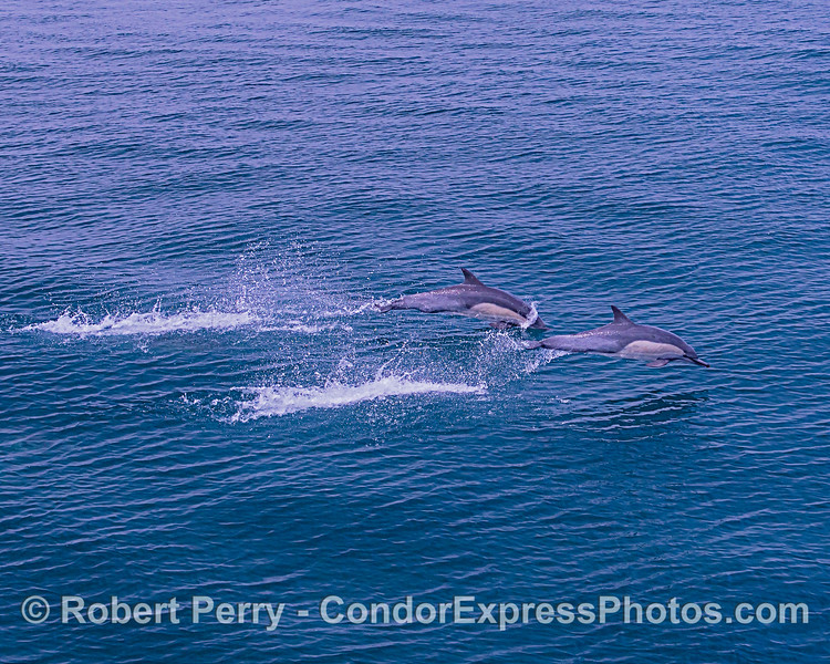 Two long-beaked common dolphins leaping together.