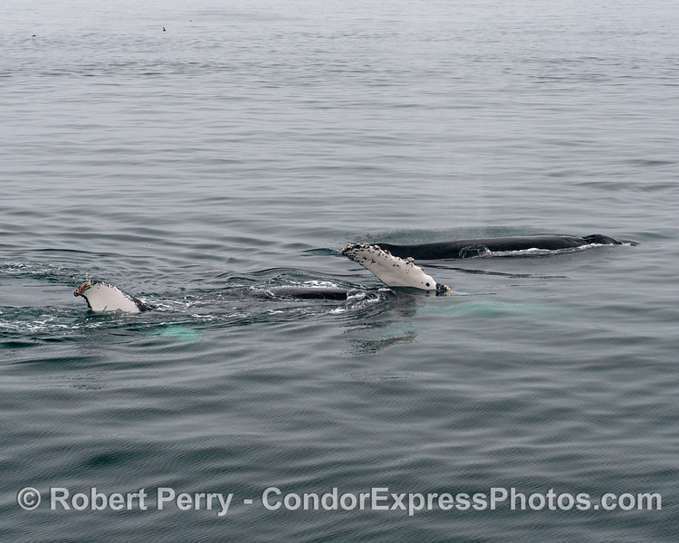 Two adult humpback whales, one repeatedly rolled around and spent time swimmin on its side, as seen here.