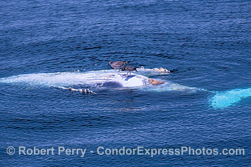Gulls pick at a deceased humpback whale calf.