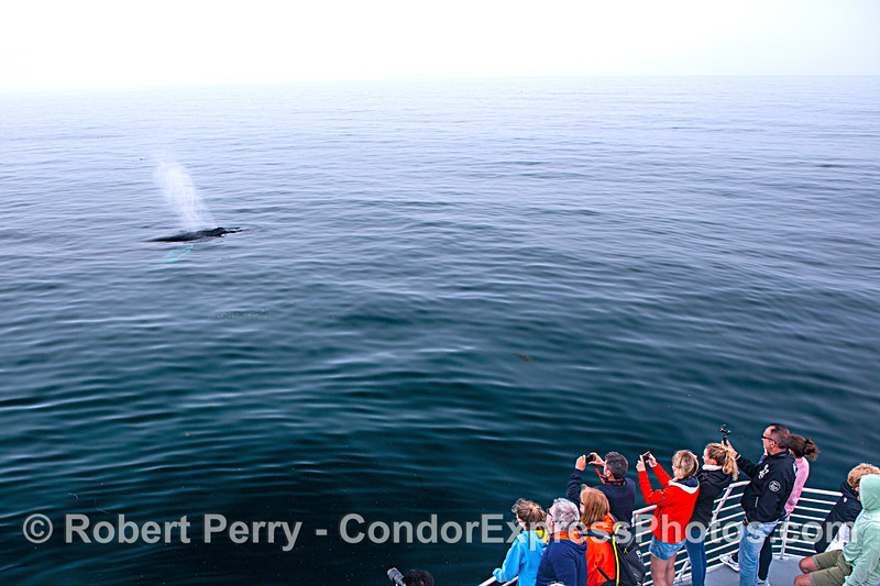 Whale fans enjoy the show on the Condor Express...best views of leviathans around!