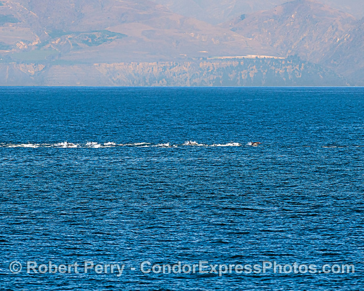 A line of long-beaked common dolphins.