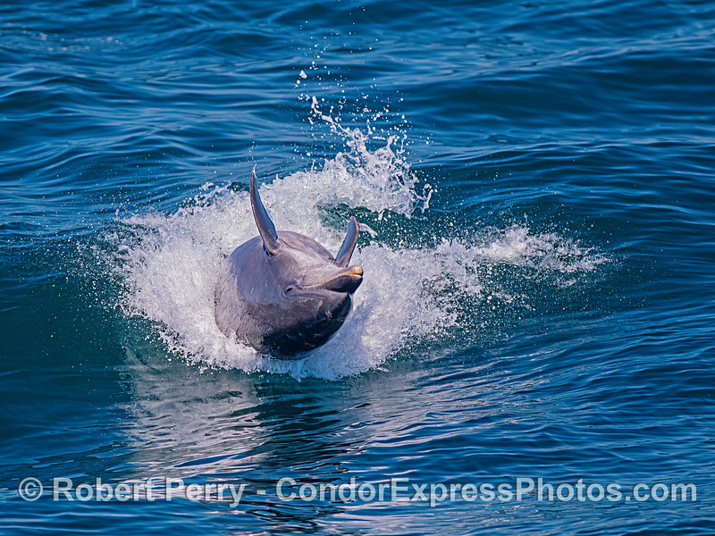 A pelagic bottlenose dolphin is shown surfing a small wave upside down.  It just landed a reverse leap.