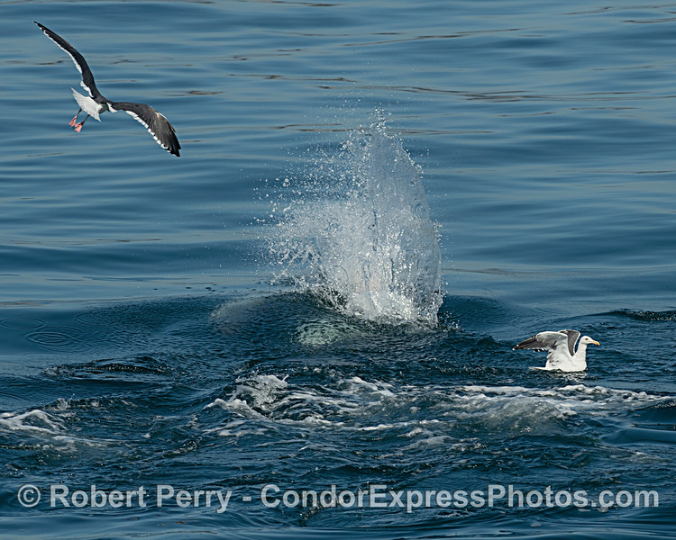 Another Long-beaked common dolphin hits the surface chasing a fish