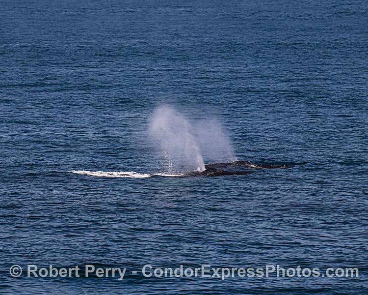 Dual humpback spouts.