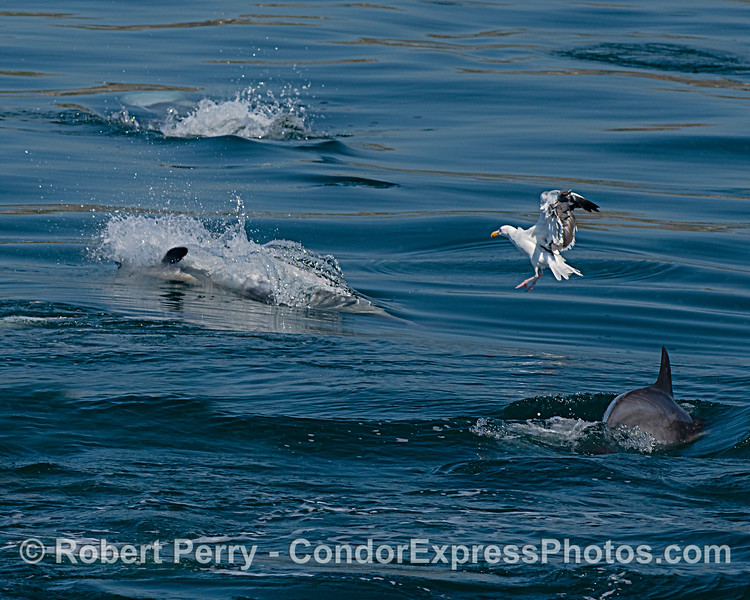 More actively feeding Long-beaked common dolphins and a hungry gull
