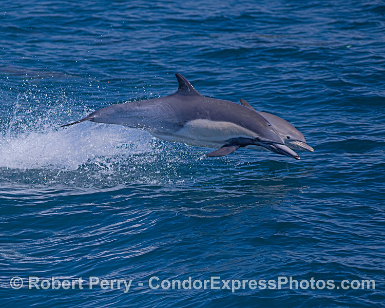 Mother long-beaked common dolphin and her calf take a leap.