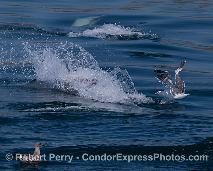 Two gulls, one right on the tail of a high-speed hunting dolphin, look for by-catch