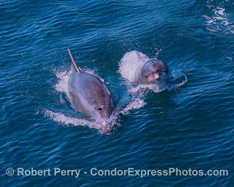 Offshore bottlenose dolphin mother and calf