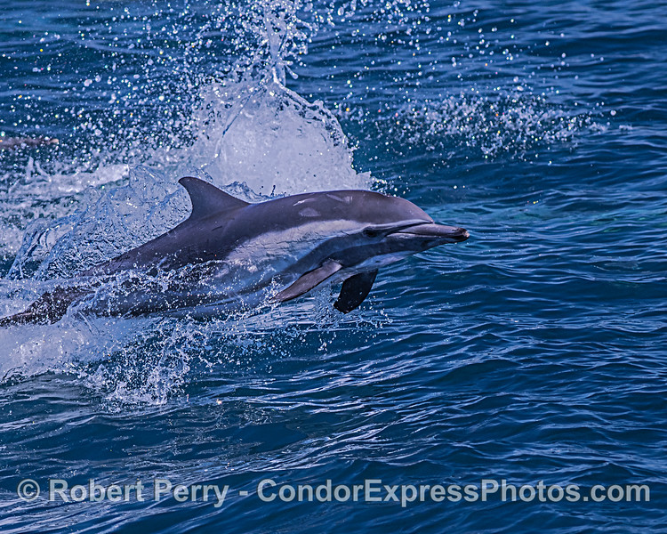 A leaping long-beaked common dolphin.
