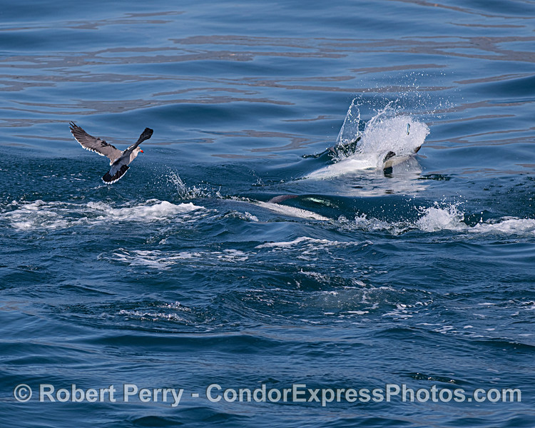 Long-beaked common dolphins feeding on sardines, one dolphin is shown breaking the water to chase a jumping fish.  A very interested Heerman's gull stands by.