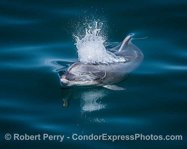 Close look at an Offshore bottlenose dolphin spouting in glassy water.