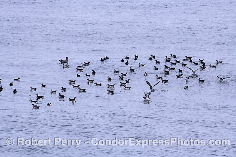 Flock of sooty shearwaters.