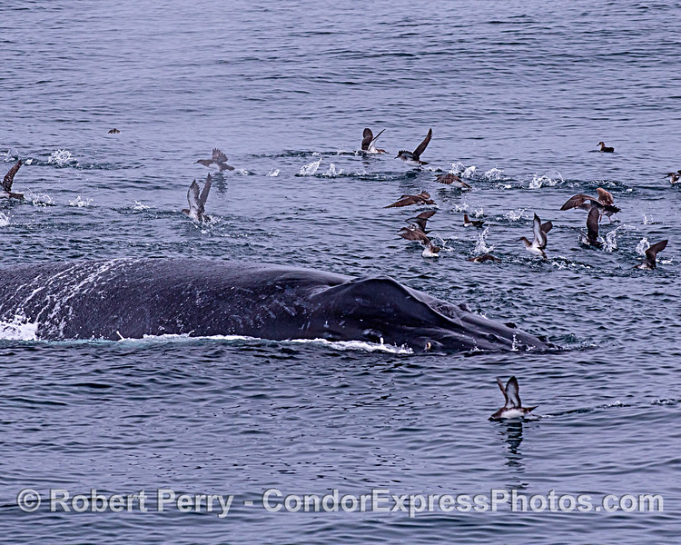 A humpback whale scatters a flock of sooty shearwaters.