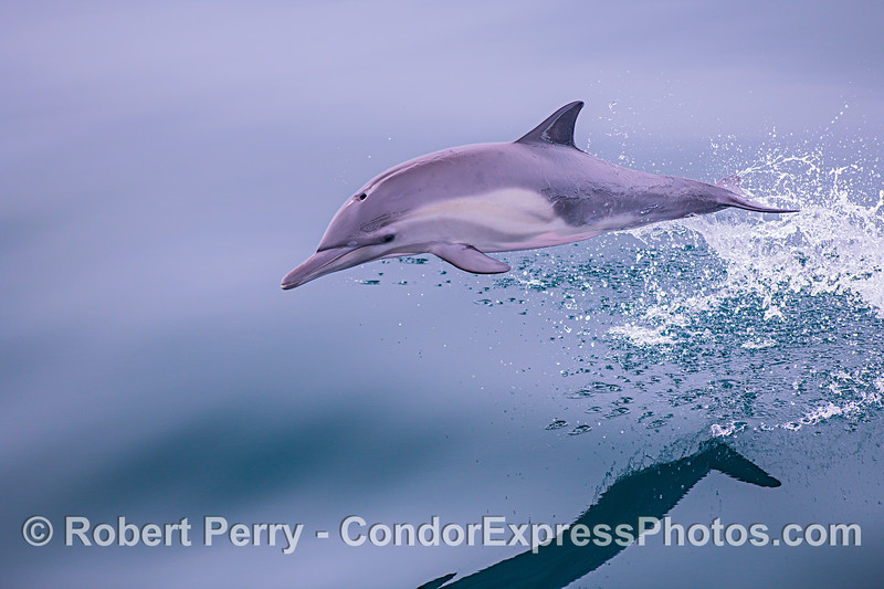 Image 2 of 4: Sequence showing close look at a leaping juvenile long-beaked common dolphin.