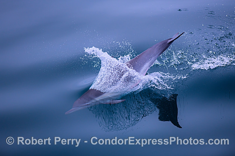 Image 4 of 4: Sequence showing close look at a leaping juvenile long-beaked common dolphin.