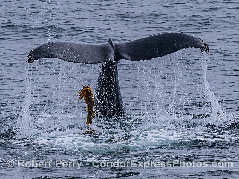 This humpback did a little kelping and has discarded the seaweed as it makes a deeper dive.