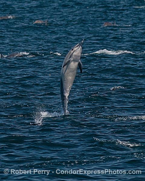 "Short-beaked common dolphin ""tail walking."""