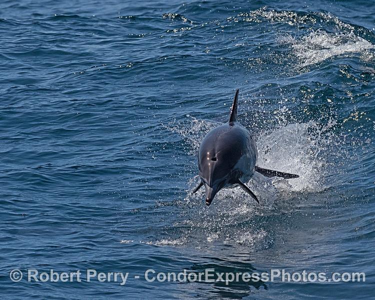 A long-beaked common dolphin leaps towards the camera.