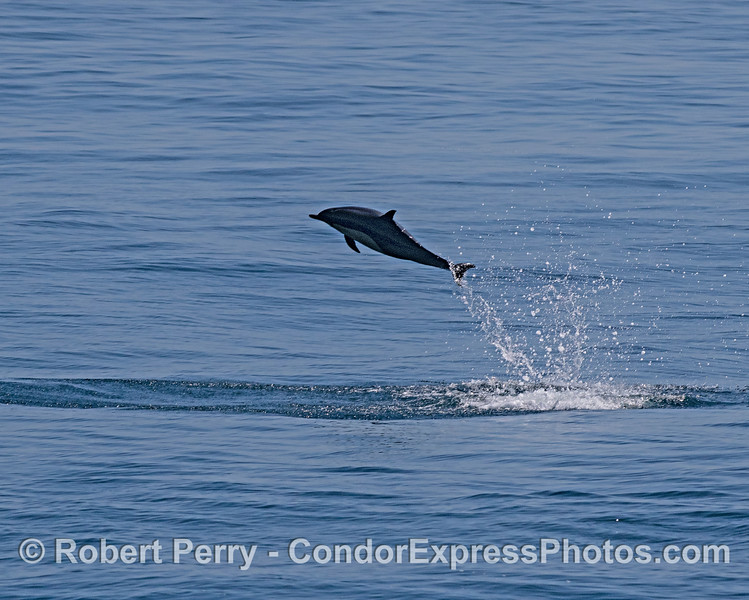 Leaping short-beaked common dolphin.