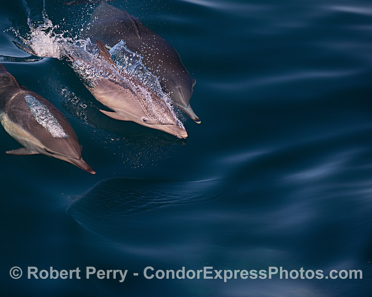 Mother (top) and her calf (left of middle) long-beaked common dolphins.
