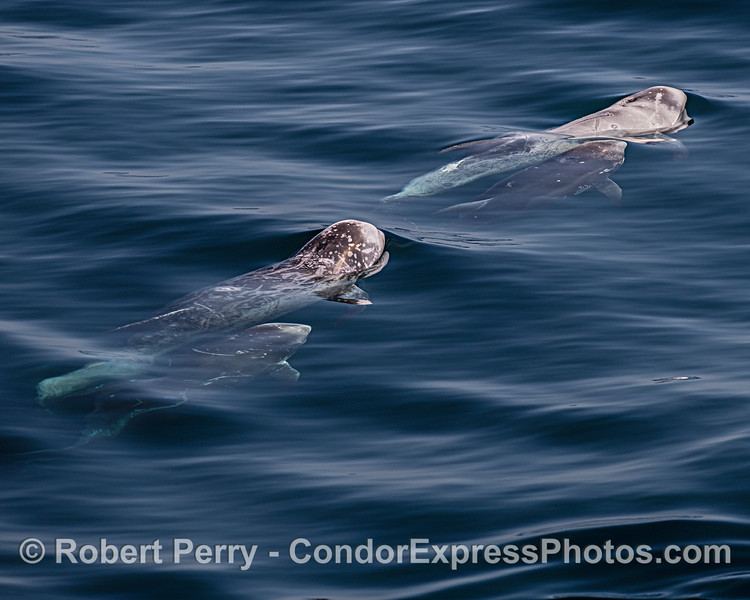 Two Mother Risso's dolphins and their calves.