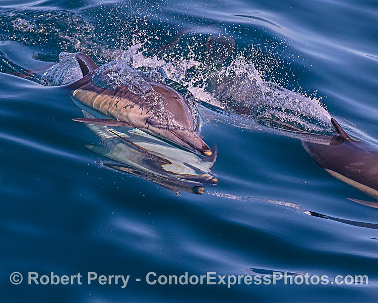 Long-beaked common dolphin mating with reflections thereof.