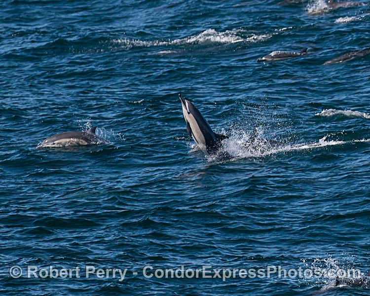 A tail-walking short-beaked common dolphin.