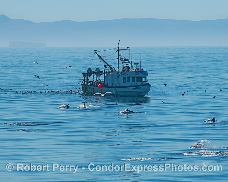 Sea Hawk cleaning up with a fan club of scavenging birds. A pod of common dolphins happens to be passing by.