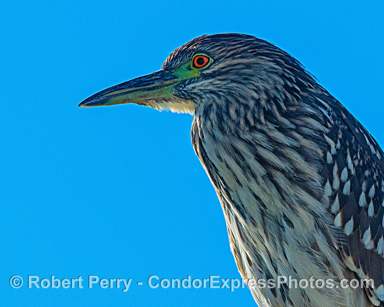 Another view of the black-crowned night heron.