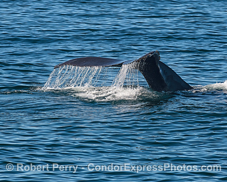 Sunny and super calm seas and a cool humpback tail fluke waterfall.
