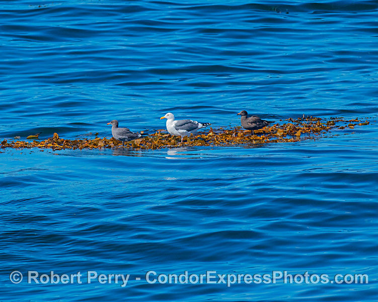Two young Heermann's gulls and a western gull tale a leisurely ride on a drifting giant kelp paddy on the open ocean.