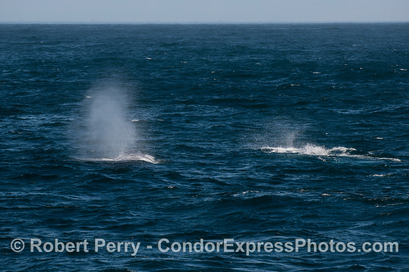 Two humpbacks on a breezy day.