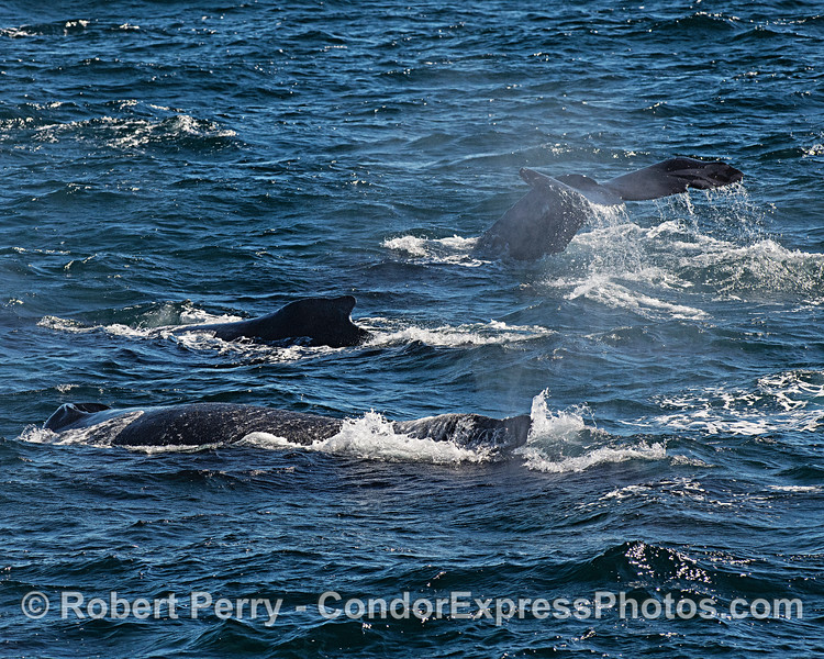 Part of a group of humpback whaes seen traveling together in choppy seas.