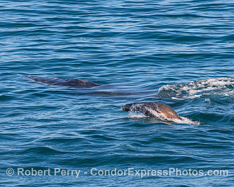 Pesky sea lion swims to get ahead (or get to the head) of a humpback whale.