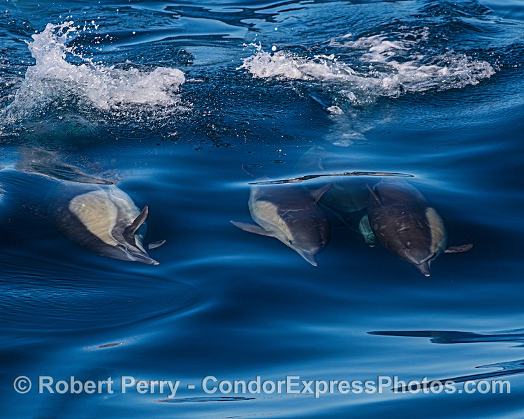 Long-beaked common dolphins riding a wave.  One is demonstrating its sideways swim skills.