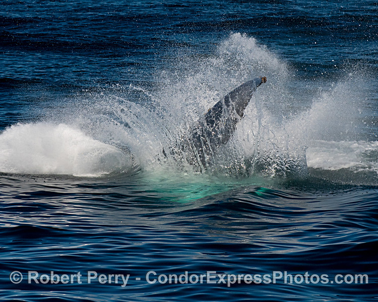 Big boom.  Humpback lands a tail throw.