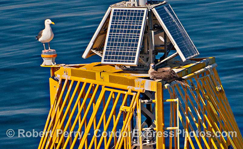 Sula sula red-footed booby NOAA buoy 46053 East Santa Barbara Channel & Zalophus ENLARGED 2019 10-26 SB Channel-b-025
