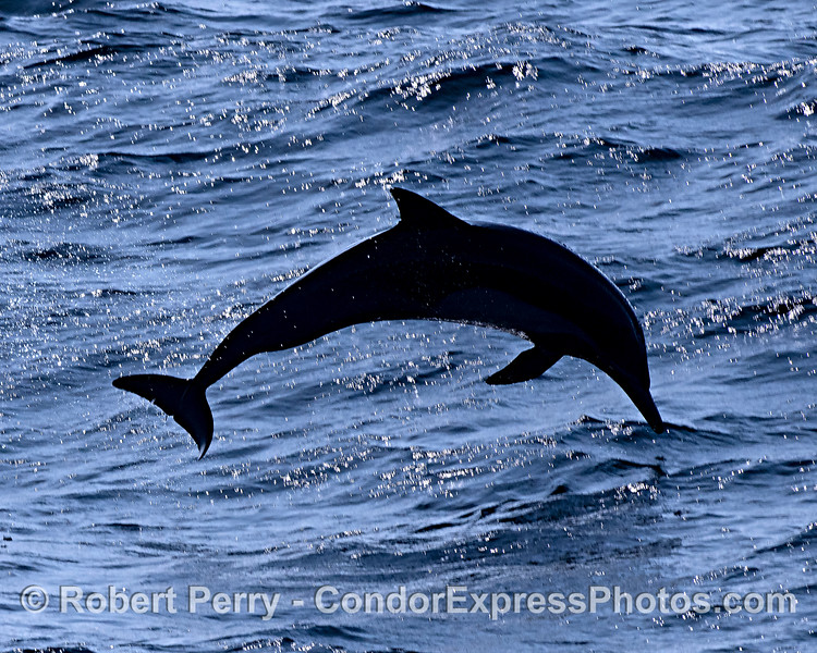 Delphinus capensis jumping silhouette rough seas 2019 10-27 SB Channel--122